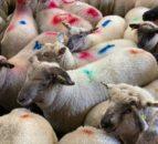 羊肉贸易:工厂继续拉低羊肉价格