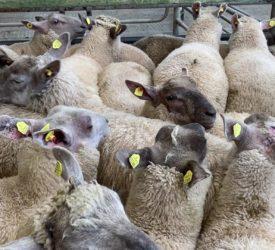 Sheep kill: Throughput drops just below the 50,000 head mark for last week