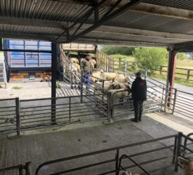 'The average lamb/hogget price for the year to date has just been short of €7/kg'