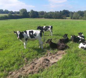 偷来的小牛回到主人的农场