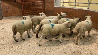 羊市:上周羊羔价格返回€4-8 /售价