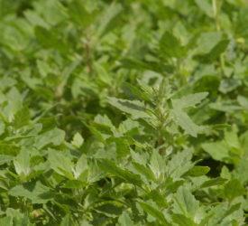 Crops watch: Targeting beet inputs towards crop performance