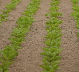 农作物:针对甜菜投入对作物表现