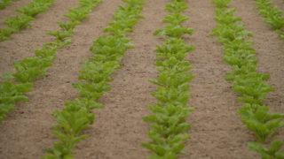 CropsWatch: Targeting Beet Inputs towards Crop Performance