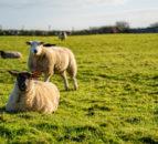Bord Bia to start carbon footprinting sheep farms