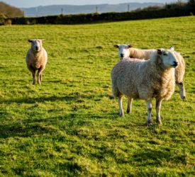 CSP outlines new 'Sheep Improvement Scheme'