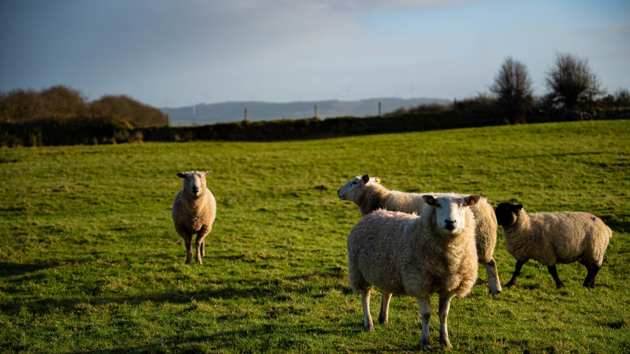 5-point plan for vaccinating sheep against footrot