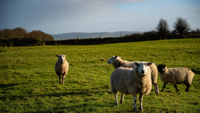 Map: 2020 county-by-county sheep numbers