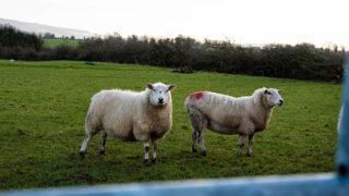CAP: Sheep Improvement Scheme 'not seen as an improvement'