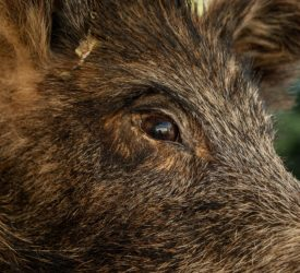 NPWS asking public to report any sightings of wild boar in Kerry