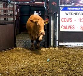 Cull cow trade 'buoyant' at Ballyjamesduff Mart