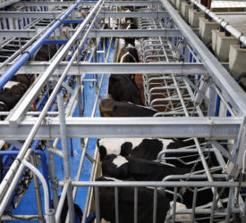 New milking method launched aimed at cutting milking time