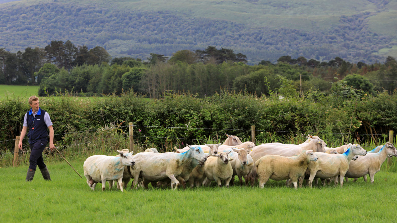 Crowd to be capped at 500 for Irish National Sheepdog Trials in Kerry