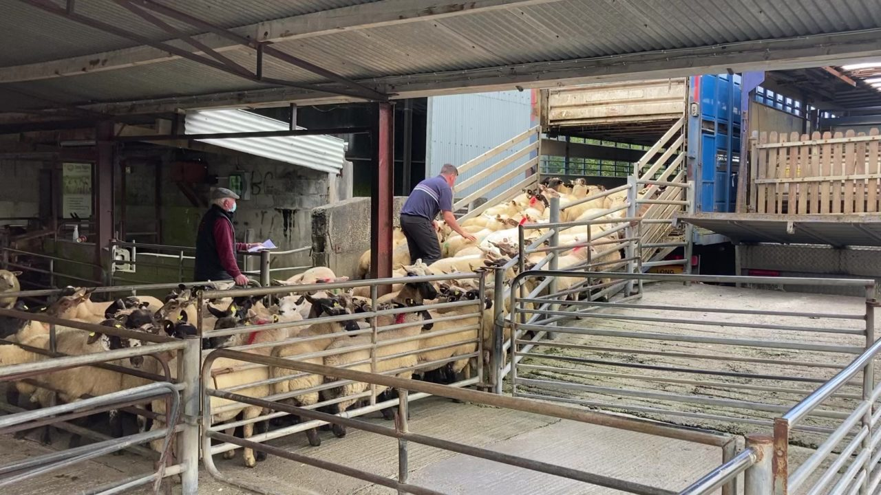 Pics from the mart:  Lamb prices continue to recover at Loughrea
