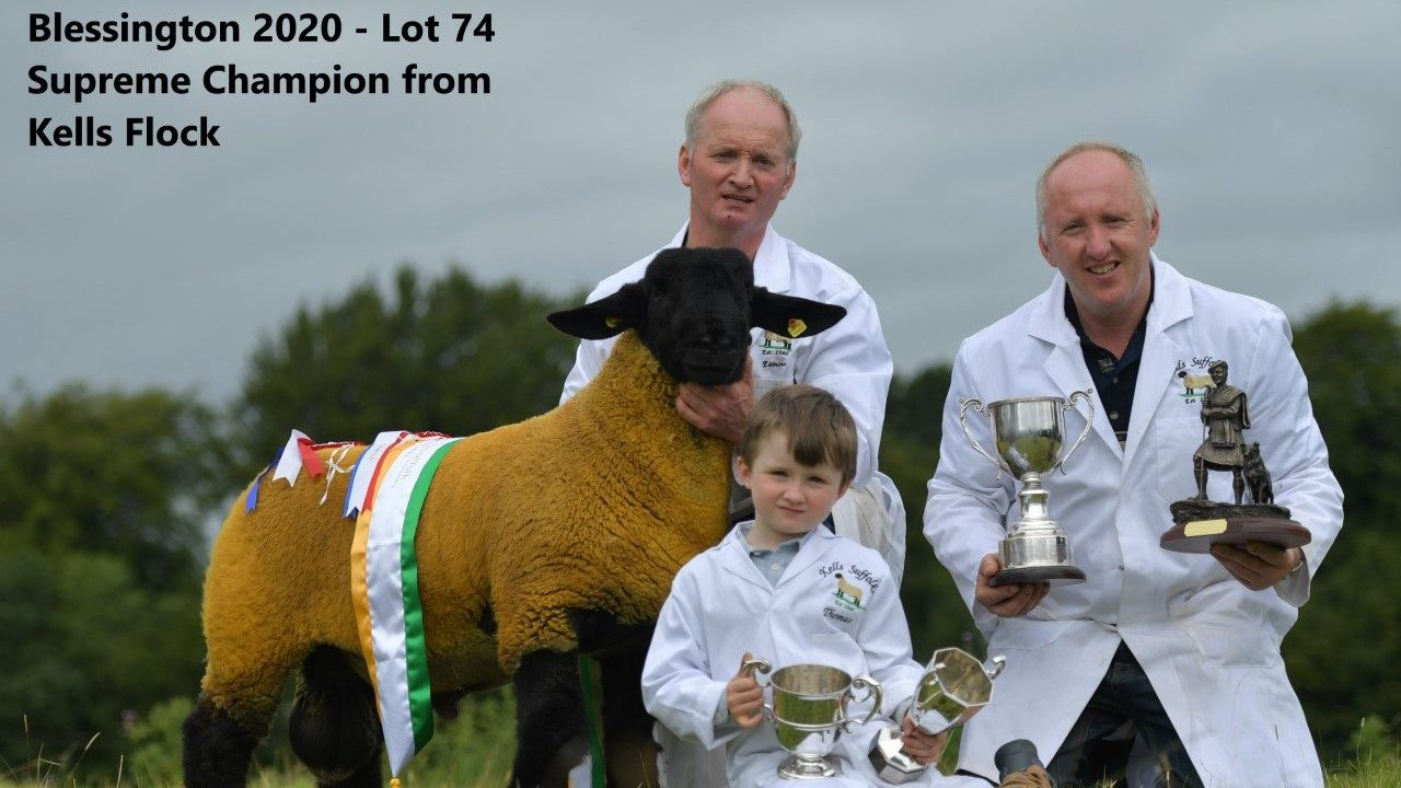 Largest selection of pedigree Suffolk rams in Ireland for upcoming sale