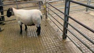 127kg ewe hits €222 at Ballyjamesduff Mart