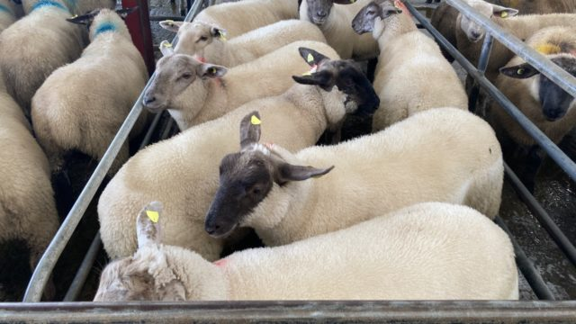 Sheep trade: Lamb quotes back 5-20c/kg from late last week