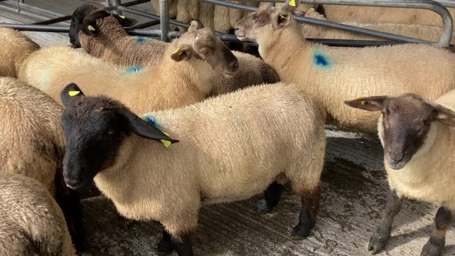Sheep prices: Lamb trade 'steady' at sales on Monday