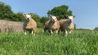 Sheep Focus: Heading for Carrick for the 4th year in a row for the Big Boy Ram Sale