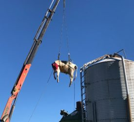 Pics: Trapped cow hoisted free from Kiwi rotary parlour
