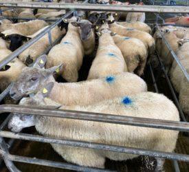 农民们从一具21.5公斤的羔羊身上比去年多赚了近22欧元