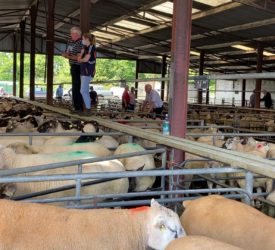 Sheep marts: Butcher and factory lamb prices see another lift