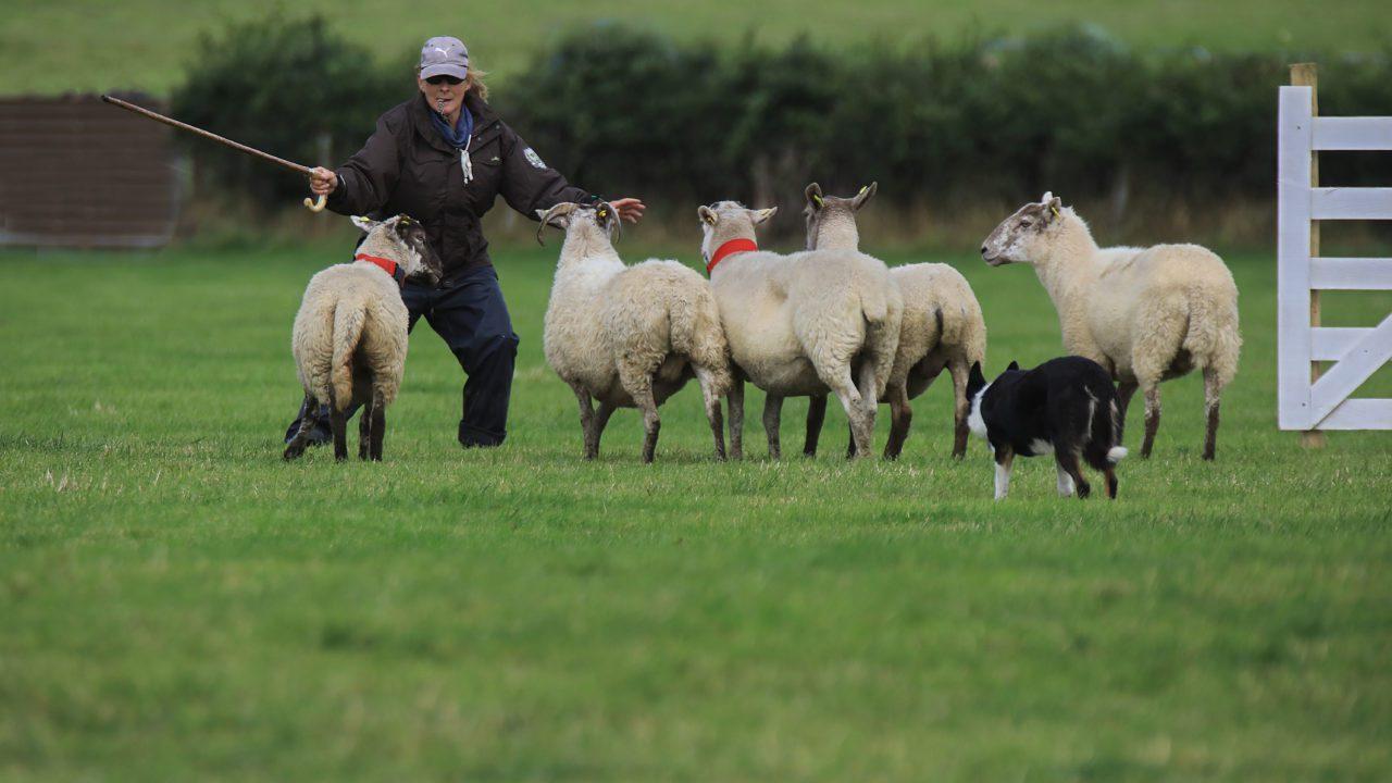 Irish team selected for International Sheepdog Trials