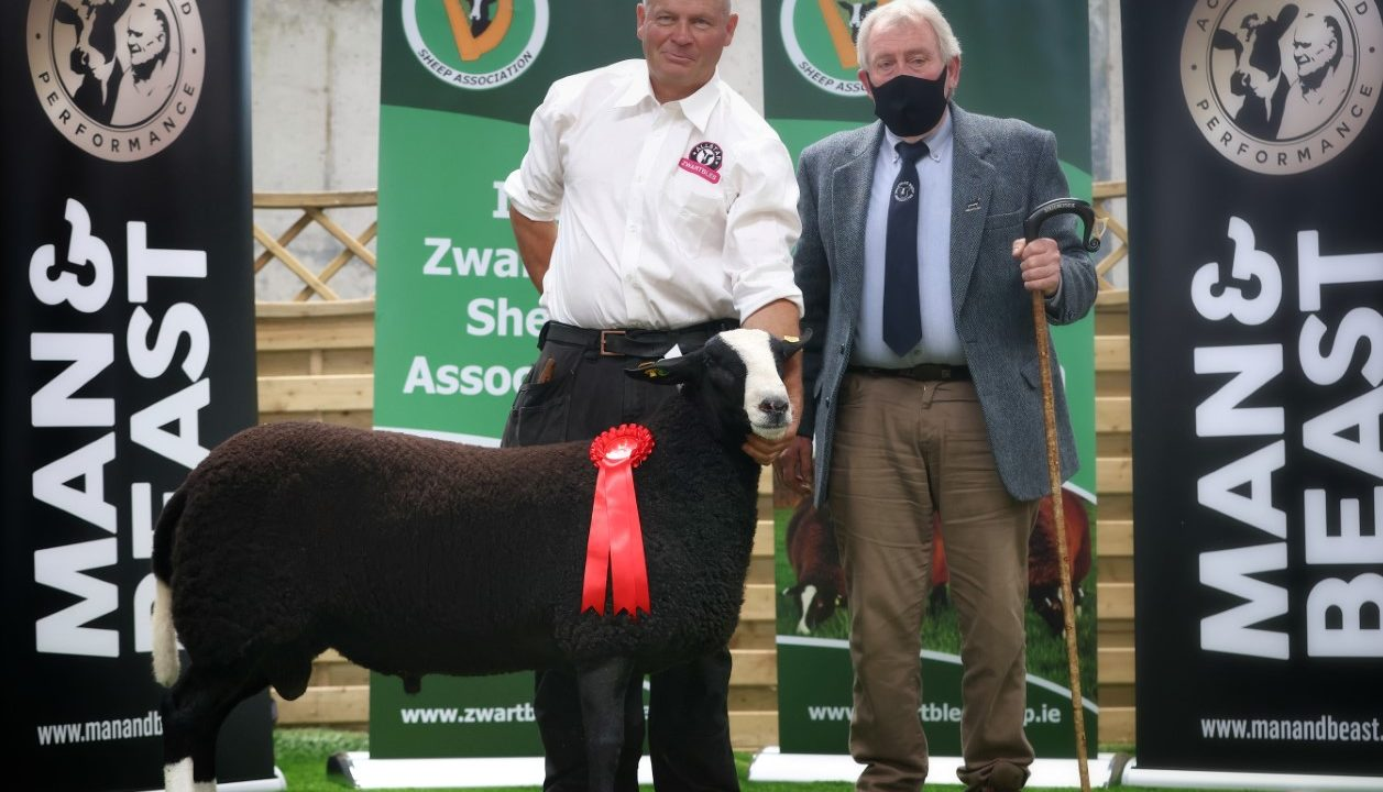 Irish Zwartbles Sheep Association's premier sale tops €3,700