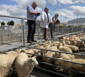 Pics and prices: Ewe lambs in demand at Roscommon Mart