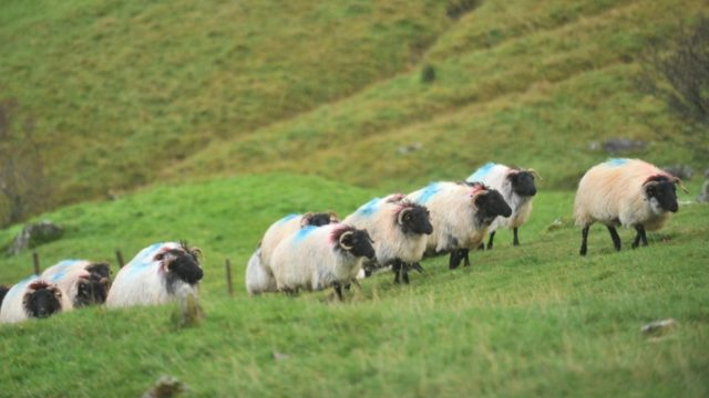'Technical solution' found for NI/Scotland livestock trade issues