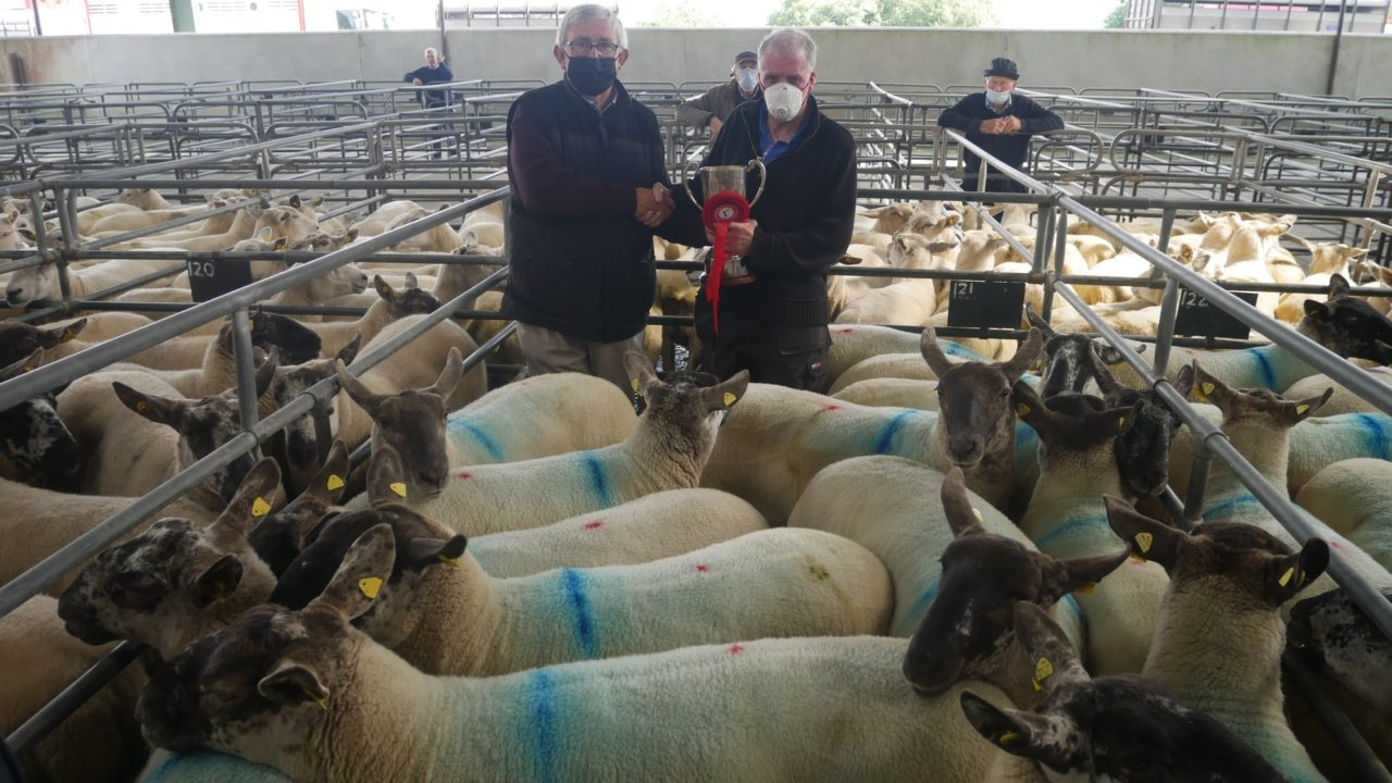 Hoggets make up to €285/head at Suffolk-cross  Cheviot sale at Blessington