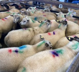 'Lambs from north processed ahead of local supplies' – ICSA