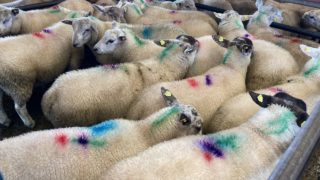 Sheep trade: Prices push on 10c/kg in cases, as '€6.50/kg on the table'