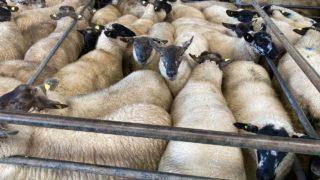 Sheep trade: Lamb quotes at €6.00-6.20/kg, as the ship steadies up