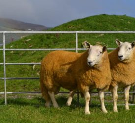 Donegal Wicklow Cheviot Breeders' Group sale set for Stranorlar this week