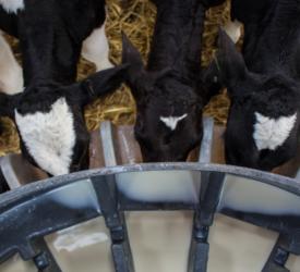 使小牛饲养更加可持续