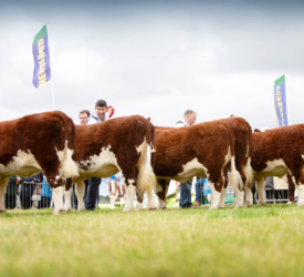 National Hereford Show to take place this Sunday