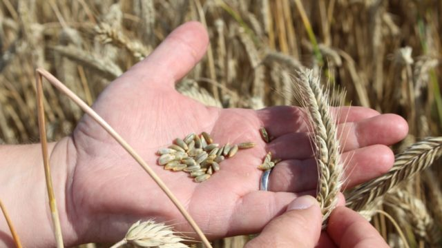 Rye has the potential to take 'take-all' out of the equation