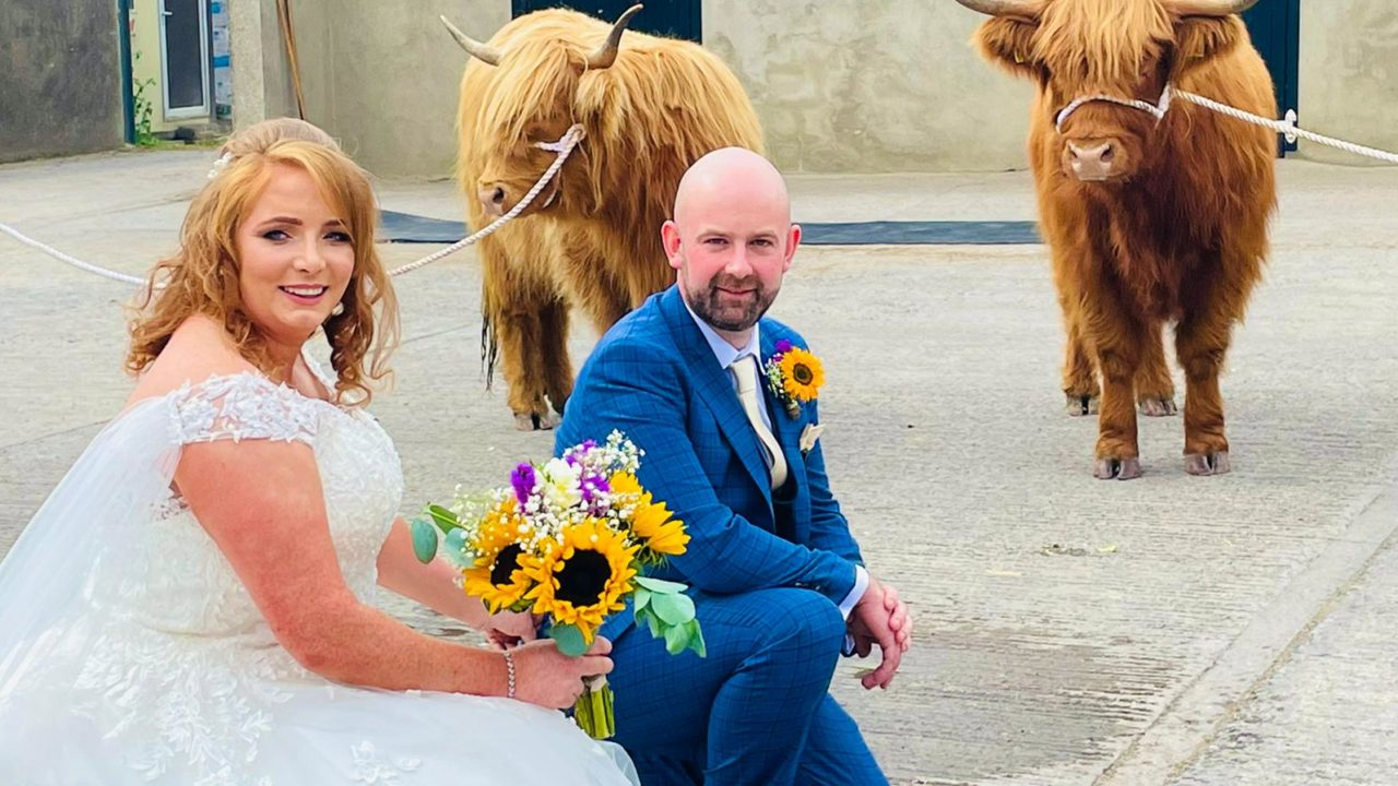 'Here come the Highland cattle'
