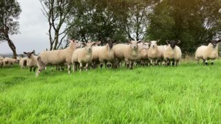Sheep trade: Bright start to the week, as lamb prices strengthen