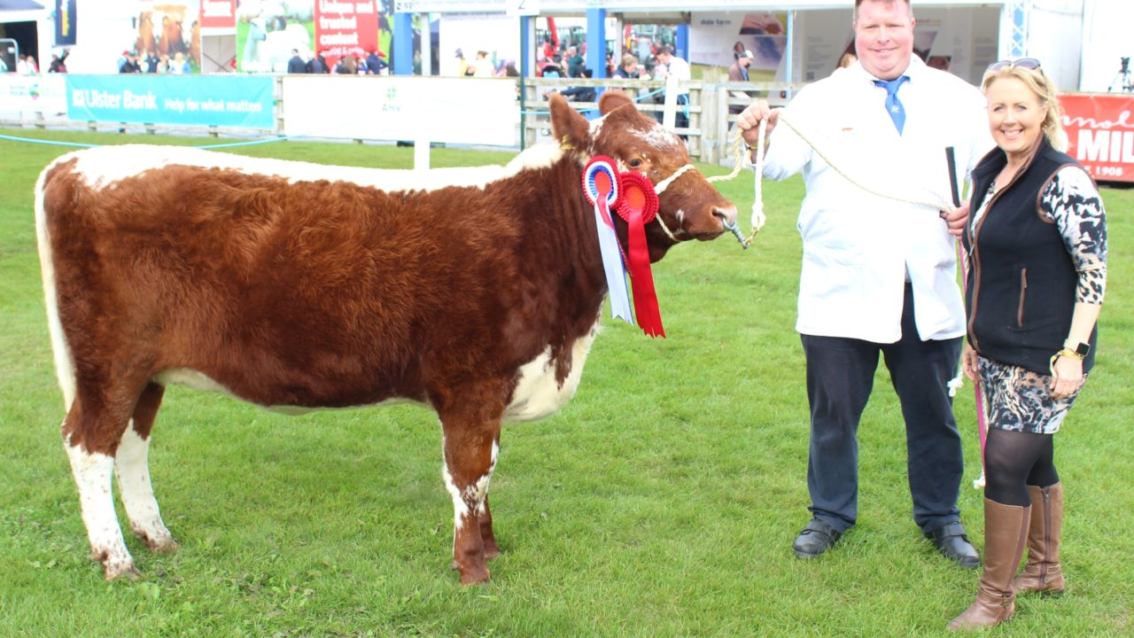 Irish Moiled cattle numbers continue to increase
