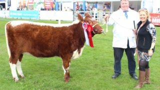爱尔兰牛的数量继续增加