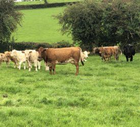 你扫描过你的乳牛群了吗?