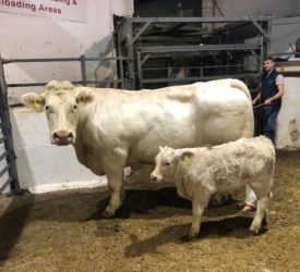 Sionhill dispersal sale: Top call of €4,560 for cow-calf pairing