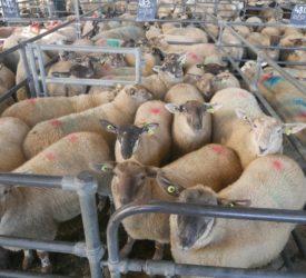 Lamb and cull ewe trade eases back at marts