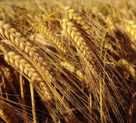 试验表明,冬麦可以为谷物种植者提供营养