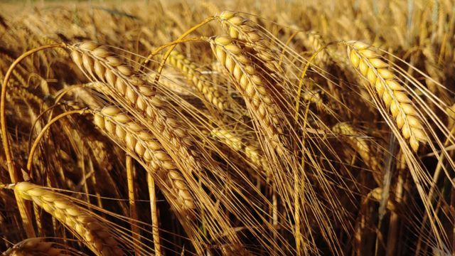 Trials shows that winter malting barley can deliver for grain growers