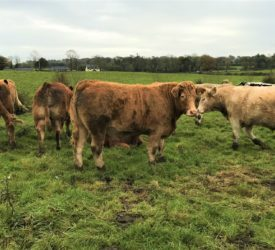 Beef trade: Prices remain steady this week