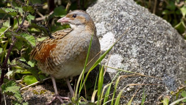 Corncrake census shows increase of 27% this year