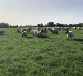 Looking to achieve a compact lambing period? Here's how you can